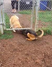 Ryker and Bailey play in the dog park
