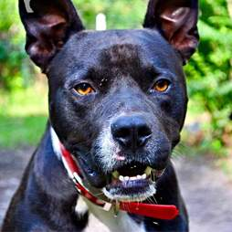 Close up of black pit bull up for adoption
