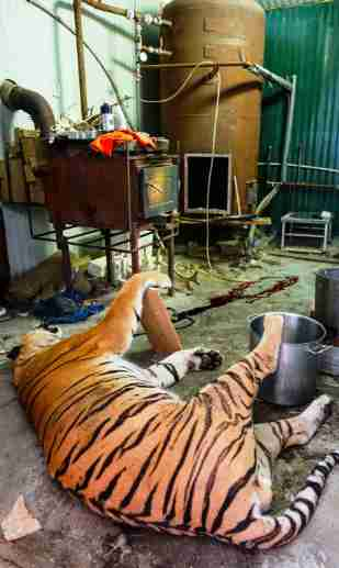 Tiger body found in Czech Republic police raid