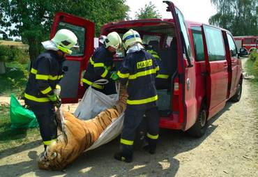 Firefighters removing tiger's dead body from house in the Czech Republic