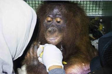 Rescued orangutan in Indonesia