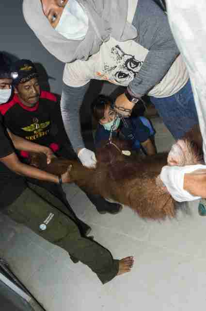 Orangutan getting rescued from captivity