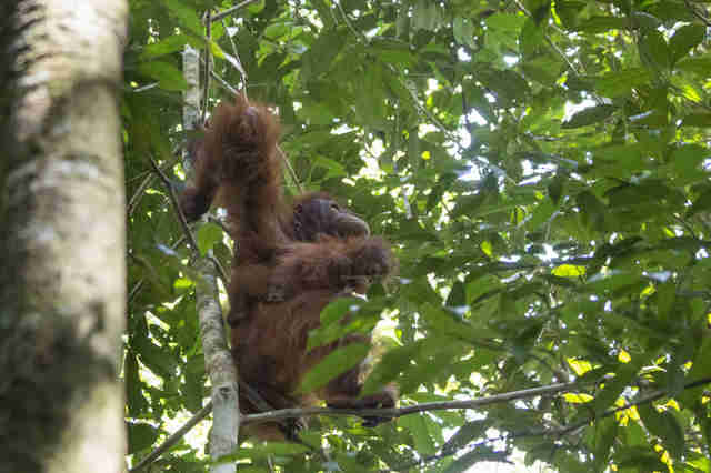 Rescuers releasing orangutan and baby back into the wild