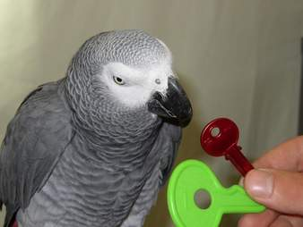 African grey parrot solving puzzle