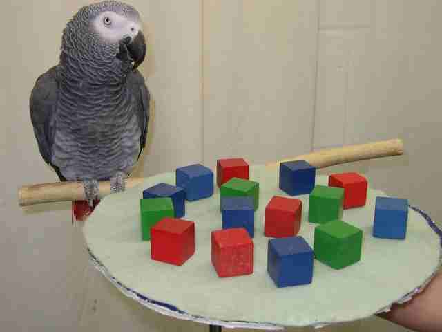 African grey parrot solving a puzzle