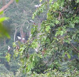 Wild African grey parrots