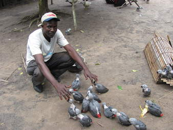 A group of captured African grey parrots