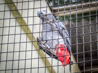 Caged African grey parrot