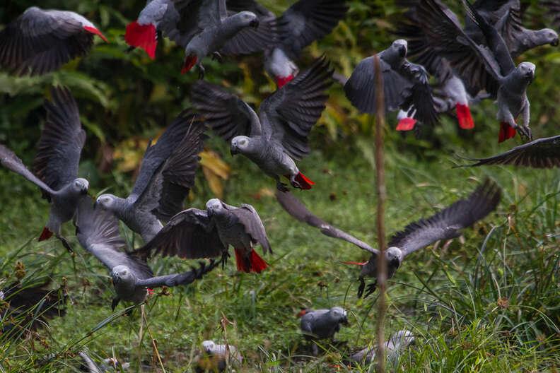 Wild African grey parrots flying around