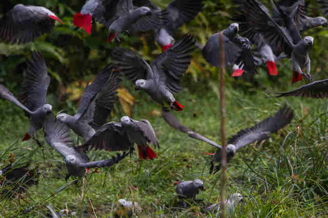 Wild African grey parrots flying around