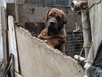Mastiff dog standing up on side of pen