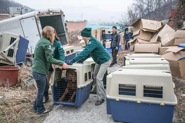 Rescued mastiff inside transport crate