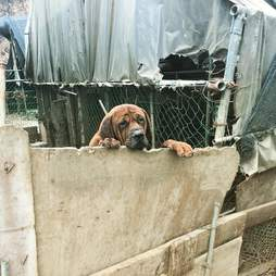 Dog in pen at South Korean meat farm