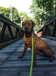Dog standing on bridge with leash around his neck