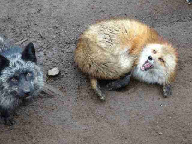 Two foxes wait to be fed at the Fox Village tourist attraction