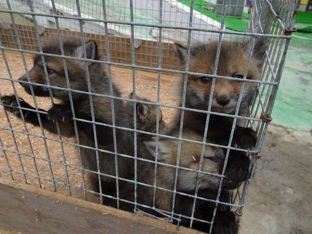 Baby foxes climb the walls of their cage