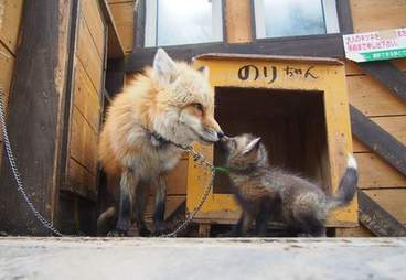 A fox cub chained to his mom