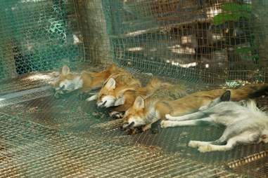 Foxes nap in a wire cage on a hot day in Japan