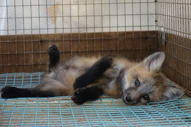 A baby fox in a cage in Zao Fox Village in Japan