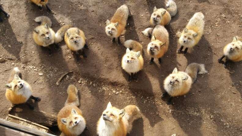 Feeding time at Fox Village