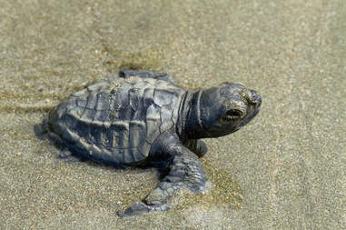 olive ridley young turtle