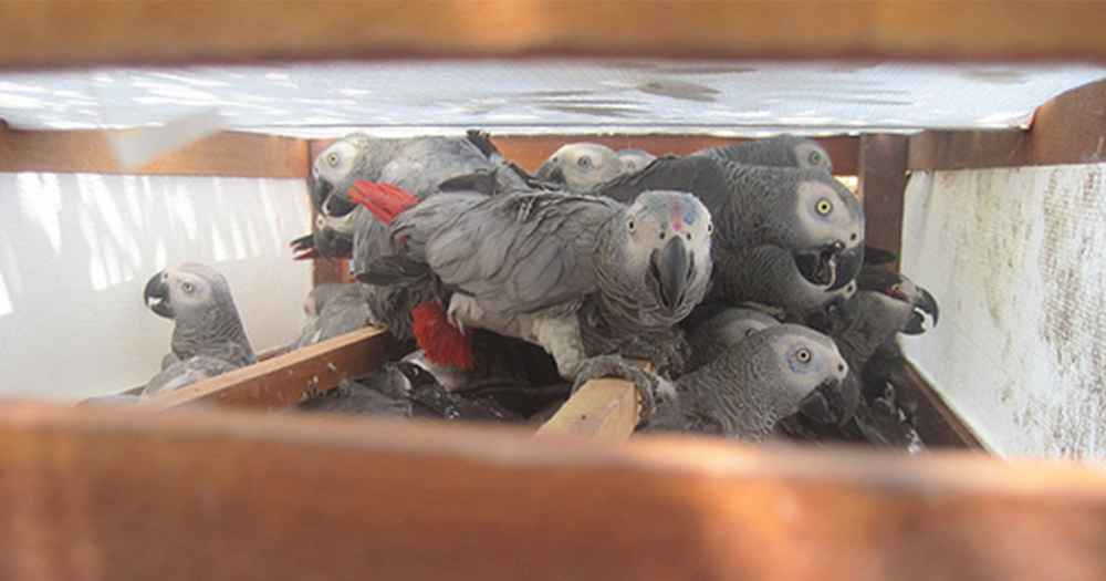 African Grey Parrots Are Going Extinct Thanks To The Pet Trade - The