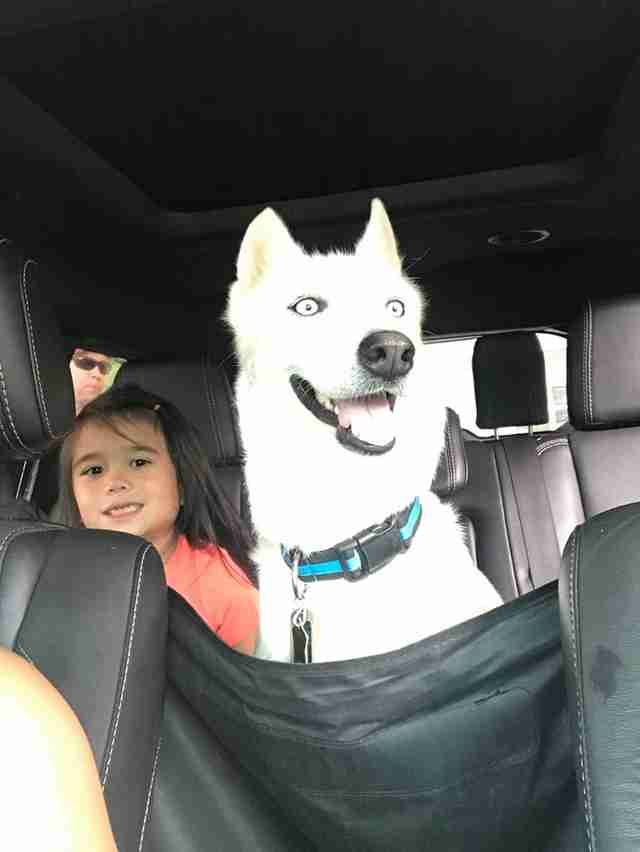 Dog smiling inside car