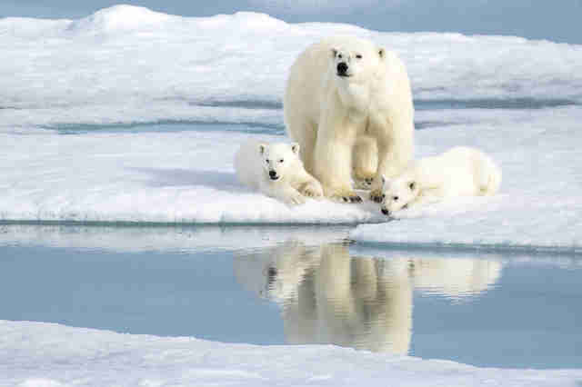 Polar bear mother and cubs in the Norwegian arctic