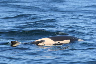 Wild orca grieving loss of her baby