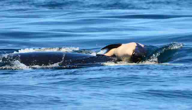 Orca mother carrying her dead calf's body
