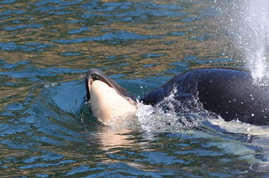Wild orca carrying dead body of her newborn calf