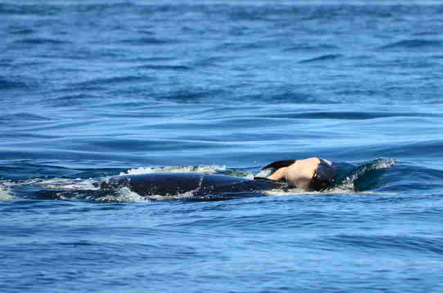 Dead baby orca being carried by her grieving mother