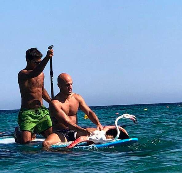 flamingo rescued from ocean