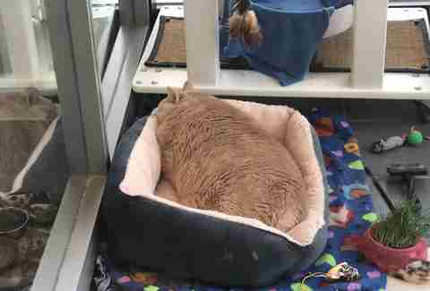 Bronson the fat cat at the Michigan humane society