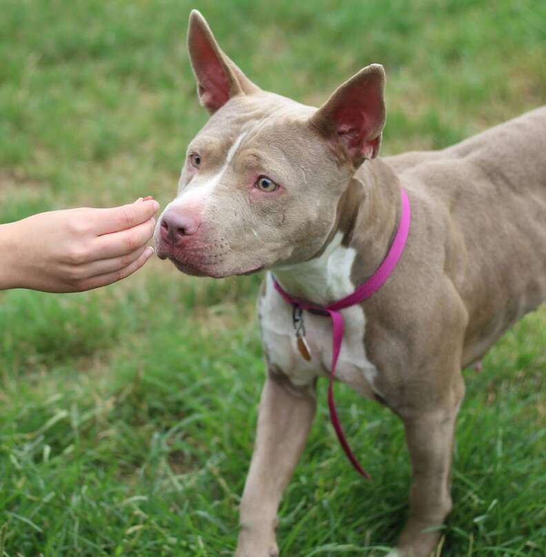 Pit bull mix sniffing person's hand