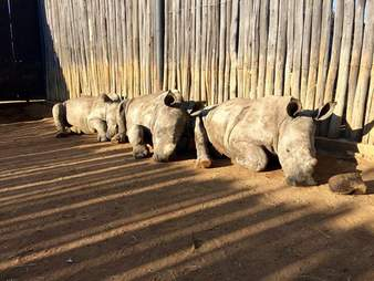 orphan rhino rescue south africa
