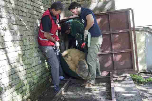 The last circus bear in Serbia is saved and brought to Swiss sanctuary