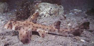 shark horn stolen texas