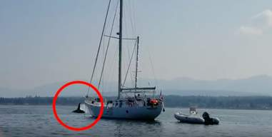 Wild orca swimming away from the boat