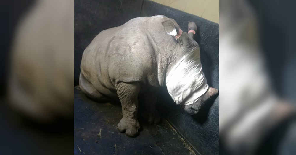 Baby Rhino Won't Stop Crying For Mom Killed By Poachers