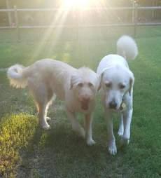 White dogs walking around yard together