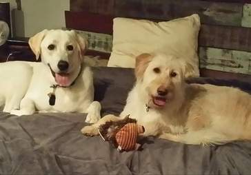 Two dogs lying on bed together