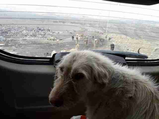 Dog being driven away from landfill