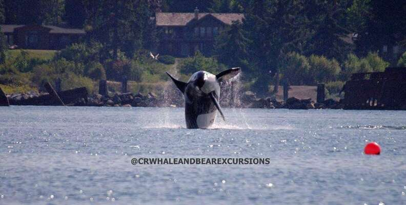 Wild orca swimming in the ocean