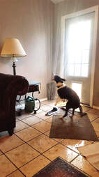 Baloo the dog drags a sprinkler inside his house