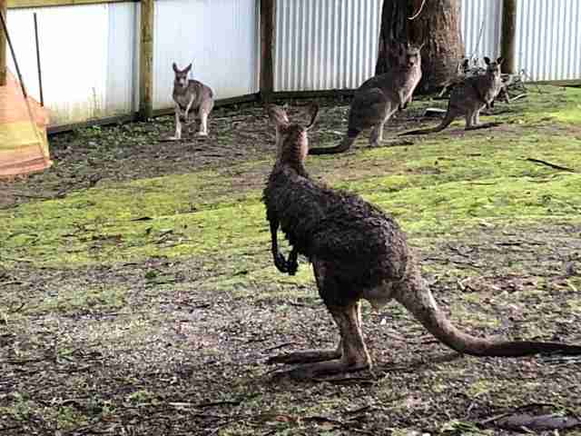 Wild kangaroo who broke into Victoria, Australia, home at rescue center