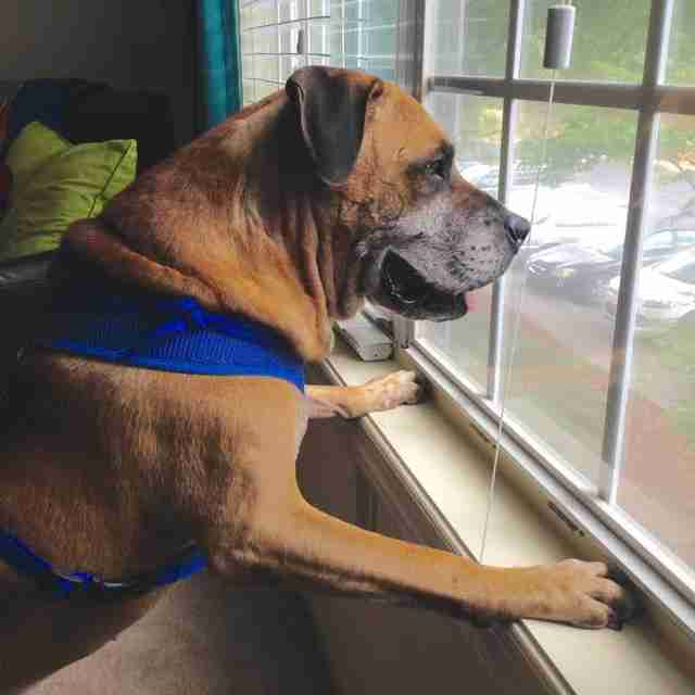 Senior dog looking out the window