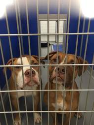 pit bull brothers