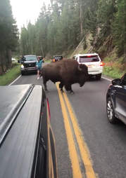 A buffalo on the road in Yellowstone National Park