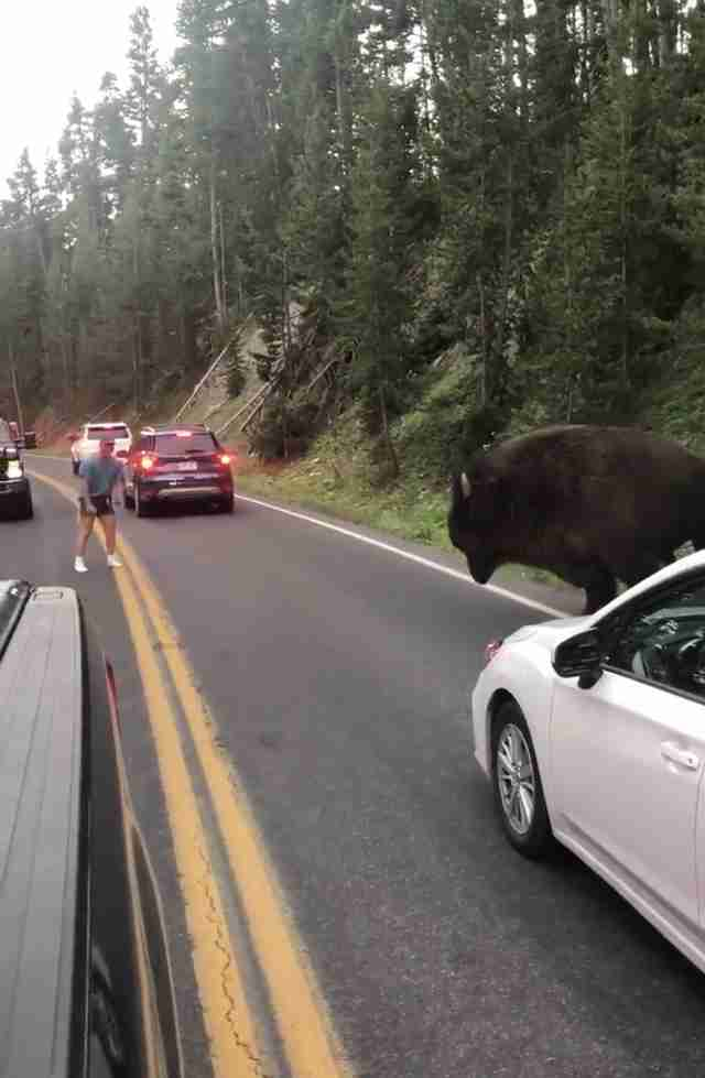 A man tries to get the bison out of the road